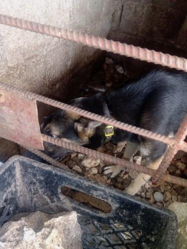 Full Bred German Shepherd Female 7 Months
