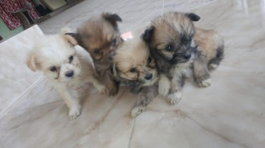 Shitzu Pomeranian Puppy For Sale