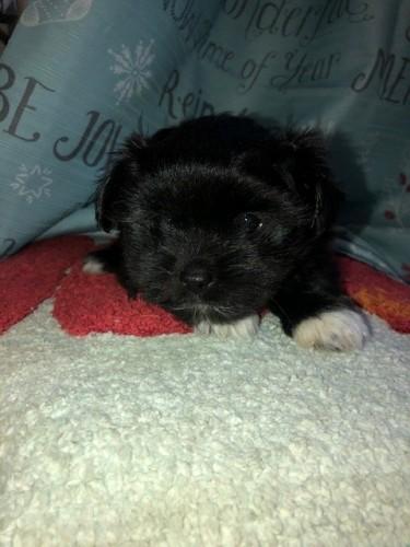 Shihtzu X Pomeranian 7wks First Vacc Given Female.