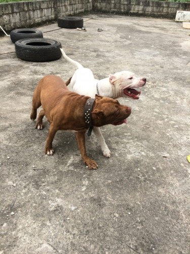 14 Weeks Female Bully Pit (3 Vaccines Given)