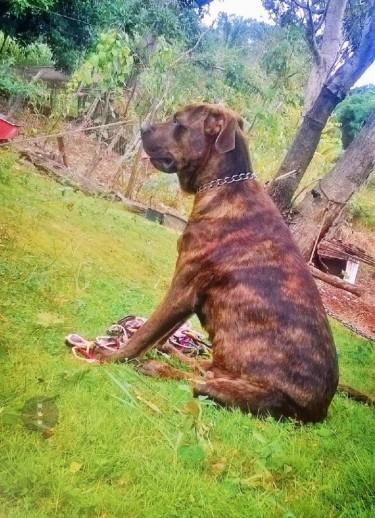 Pitbull Terrier With English Mastiff Mix