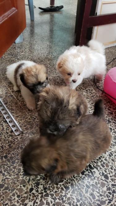 ADORABLE SHITZU-POMERANIAN PUPPIES (six Weeks)