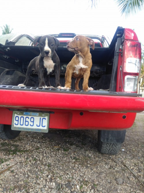 Pitbull Puppies $60,000 Each