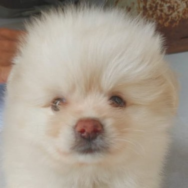 Male Pomeranian Puppy For Sale