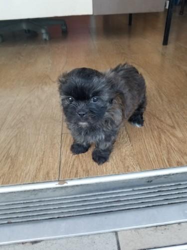 Female Shih Tzu Poodle