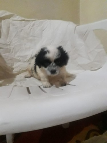 Shih-poo Puppies Available