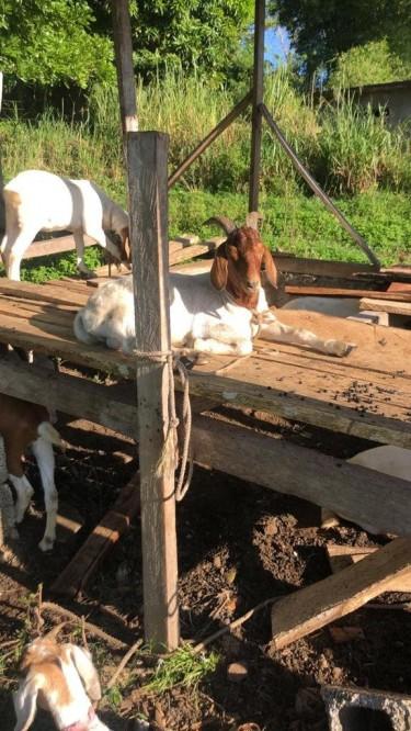 Graded Boer Ram Goat For Sale