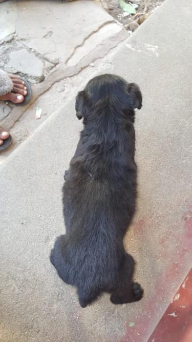 Black Shih Tzu Poodles