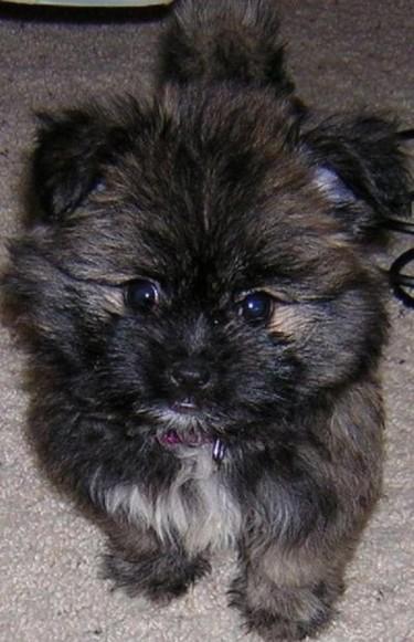 Shih Tzu Mix Puppies