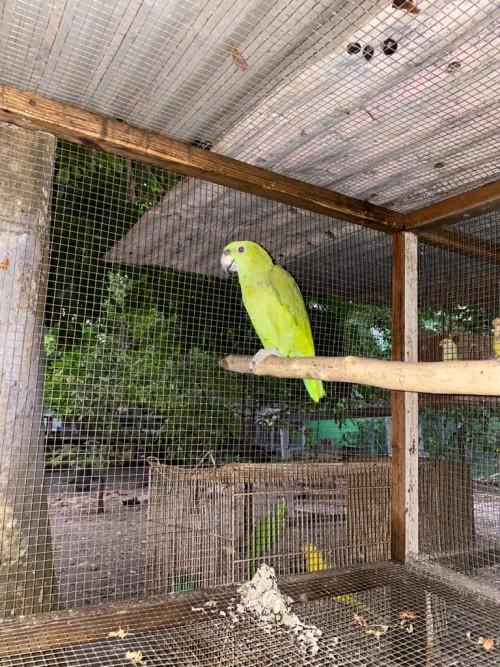 Amazon Parrot Talking Very Good Ready To Go
