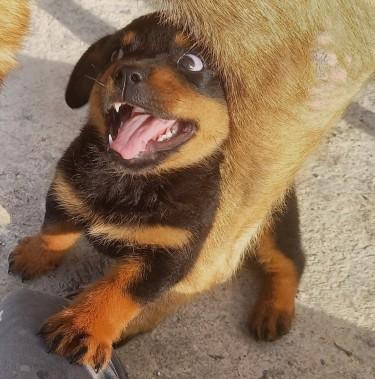 7 Weeks Old Female Rottweiler