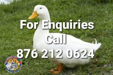 Pekin Ducks / Ducklings For Sale