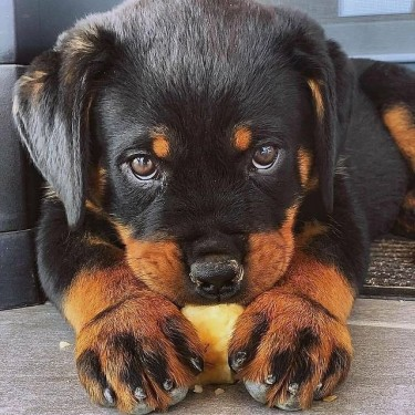 Rottweiler Puppies Available Now!