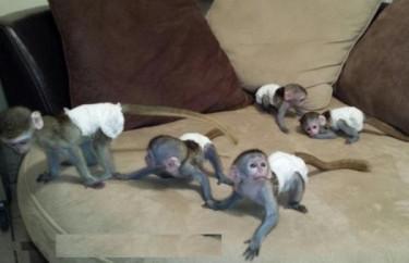 Capuchin Monkeys For Sale And Adoption..whatsapp M