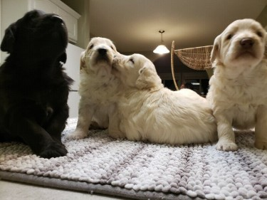 Playful Golden Retriever Puppies For Sale