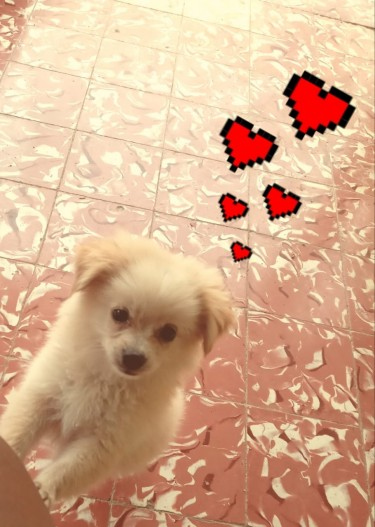 14 Weeks Old Male Pomeranian Mixed With Shih Tzu