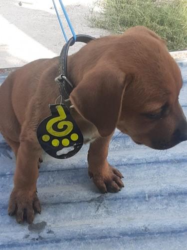 6 Weeks Old Female Pitbull Mix Rottweiler