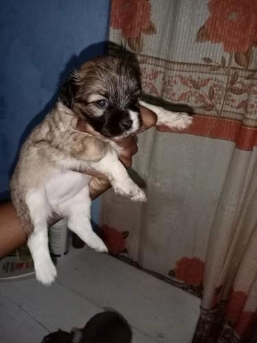 Shi Tzu Puppy For Sale