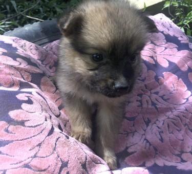 For Sale Pomeranian Shitzu Mixed