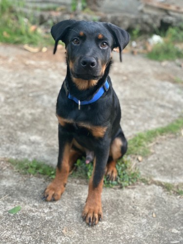 5-month Old Rottweiler/German Shepherd Mix