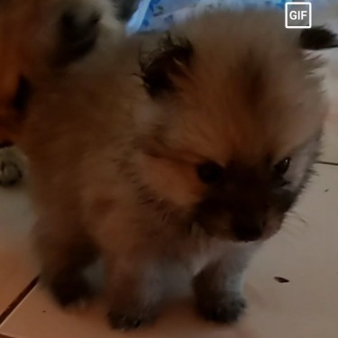 Fullbred Female Pomeranian Puppies