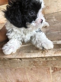 Shihtzu X Poodle 7wks First Shot Given Female.