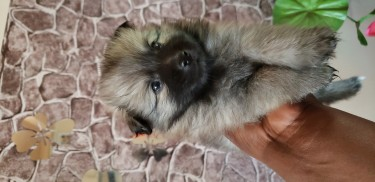 Female Pomeranian Puppies Available