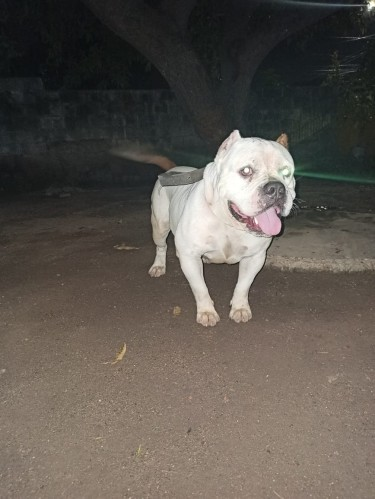 Purebred 2 Years Old Male  American Bully
