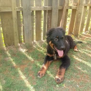 5 Month Old German Shepherd Mix Rottweiler