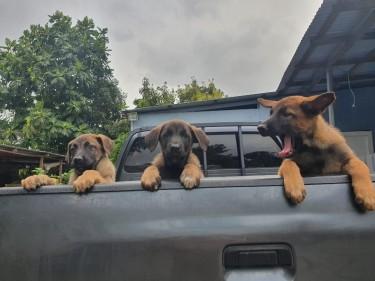 Belgian Malinois Puppies, 8 Weeks Old