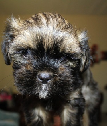 Female Shihpoo Puppies-WHATSAPP MESSAGE ONLY