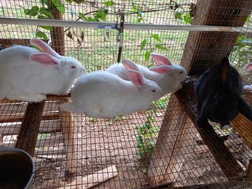 Straight Flemish Giant Rabbits