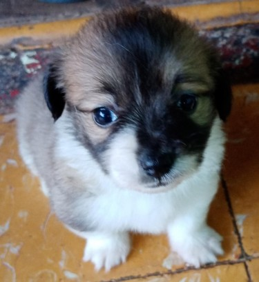 Shi Tzu Papillon Mixed Puppy For Sale