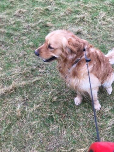 Adorable Male Golden Retriever Puppy For Sale