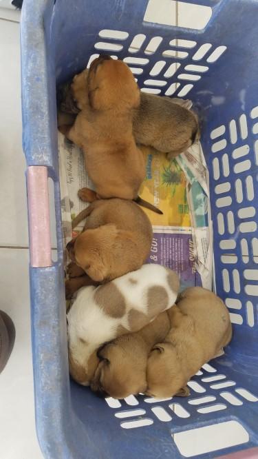 Rotti Pups And Mastiff Pups