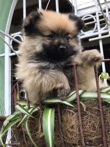 Pomeranian Mix FOR SALE!