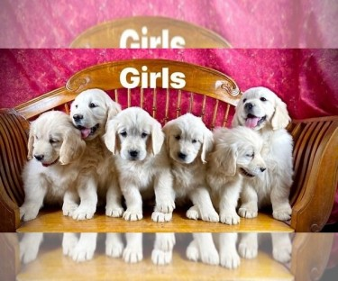 Adorable Male And Golden Retriever Puppies