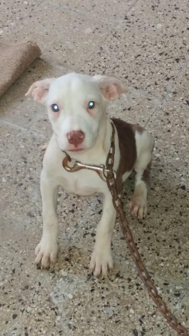 Beautiful Pitbull Pups Available