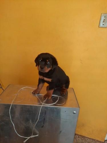 Regd Rottweiler Pups
