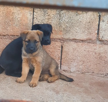 Labrador And Shepard Female Puppies