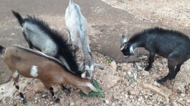 4 Goats For Sale