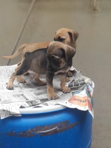 Pitbull Puppies 2 Females