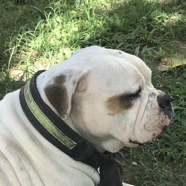 American Bulldog Migration Sale!! Discounted Price