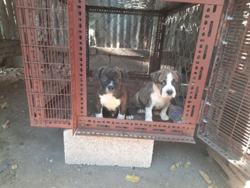 Large Bully Pups For 35k