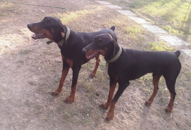 Registered Doberman For Sale!!!