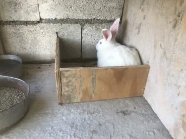 Rabbits For Sale In Clarendon, Jamaica