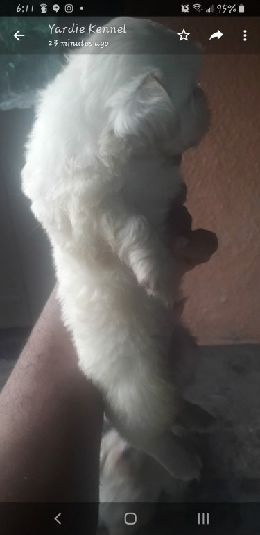 Male Shih-tzu Available