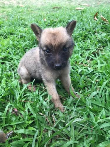 7 Week German Shepherd For Sale