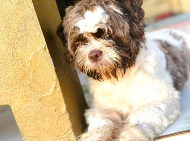 Fully Vaccinated Male Shih Poo