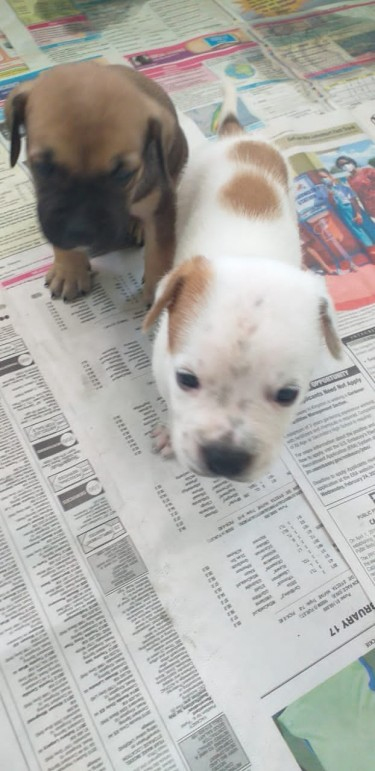 Bully X Pit Bull Bulldog Mix Puppies